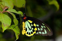 Common Birdwing Butterfly Royalty Free Stock Images
