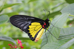 Common Birdwing Butterfly royalty free stock photo