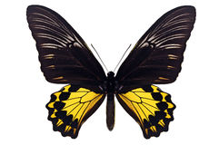 Common Birdwing Butterfly Stock Photo