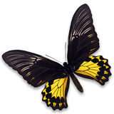Common Birdwing Butterfly Stock Photos