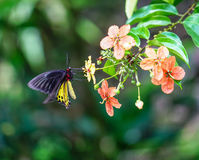 Common Birdwing Butterfly Stock Images