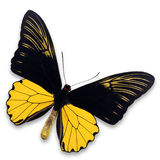 Common Birdwing Butterfly Royalty Free Stock Photography