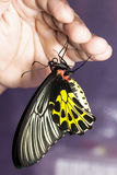 Common birdwing butterfly hanging on hand Royalty Free Stock Photos