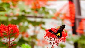 Common Birdwing butterfly (Troides helena) Stock Photos