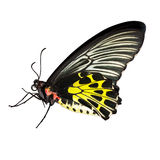 Common birdwing butterfly on white background Royalty Free Stock Image