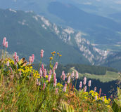 Common bistort (Persicaria bistorta) growing in the mountain mea Royalty Free Stock Photo
