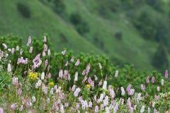 Common bistort (Persicaria bistorta) Royalty Free Stock Photos
