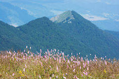 Common bistort (Persicaria bistorta) in the mountains Stock Images
