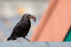 Common Black bird. With earth worms in his billed Stock Photography