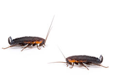 Common black cockroach - Blatta orientalis Stock Photo