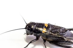 Common black cricket isolated insect on white background royalty free stock images