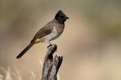 Common or Black-eyed bulbul, Pycnonotus barbatus Royalty Free Stock Photography