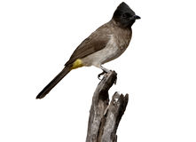 Common or Black-eyed bulbul, Pycnonotus barbatus Stock Photos