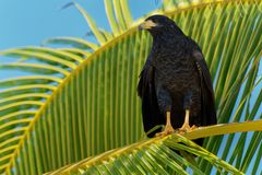 Common Black Hawk - Buteogallus anthracinus a bird of prey in the family Accipitridae, formerly included the Cuban black-hawk. Buteogallus gundlachii as a royalty free stock images