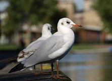 Common Black-headed Gull Royalty Free Stock Photography