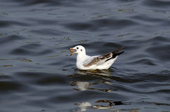Common Black-Headed Gull Royalty Free Stock Image