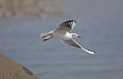 Common Black-headed Gull. Flying for foraging Royalty Free Stock Photos