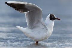 Common black-headed gull (Chroicocephalus ridibundus, Larus ridibundus) Stock Photos