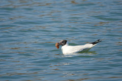 Common Black-headed Gull Stock Photography