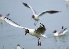 Common Black-headed Gull in flight Royalty Free Stock Photo