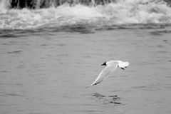 Common Black-headed Gull Stock Image