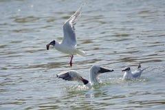 Common Black-headed Gull Royalty Free Stock Photo