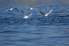 Common Black-headed Gull Royalty Free Stock Images