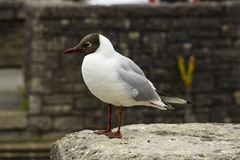 A common black headed gull with its distinctive markings and red legs. This species is very common in all parts of the British Isl. Es and ranks as one of the Stock Images