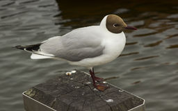 A common black headed gull with its distinctive markings and red legs. This species is very common in all parts of the British Isl. Es and ranks as one of the Royalty Free Stock Photos