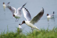Common Black-headed Gull, Larus ridibundus,. The Black-headed Gull (Chroicocephalus ridibundus) is a small gull which breeds in much of Europe and Asia, and also Stock Photo