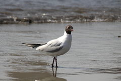 Common Black.headed Gull Stock Photo