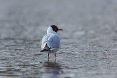 Common black-headed gull Larus ridibundus standing in the wate Stock Photos
