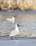 Common Black-headed Gull sitting top of icecap in the spring time Royalty Free Stock Photos