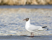 Common Black-headed Gull sitting top of icecap in the spring time Stock Photos