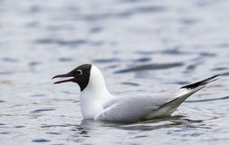 Common Black-headed Gull. Swimming in a water Stock Photos