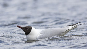 Common Black-headed Gull. Swimming in a water Royalty Free Stock Image