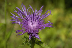 Common or Black Knapweed Royalty Free Stock Photography