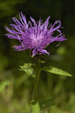 Common or Black Knapweed Stock Images