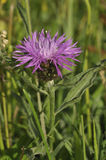 Common or Black Knapweed Royalty Free Stock Photos