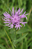 Common or Black Knapweed Stock Image