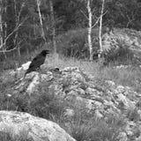 Common black raven on rocks stock image