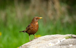 Common Blackbird. An image of a female common blackbird standing on a rock with a green background stock image
