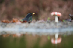 Common blackbird in autumn Stock Photos