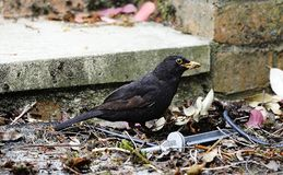 Common blackbird. With a beak of food royalty free stock image