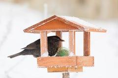 Common blackbird blackbird in bird house, bird feeder. Female of Common blackbird Turdus merula feeding in homemade wooden bird feeder, bird house on winter royalty free stock photos