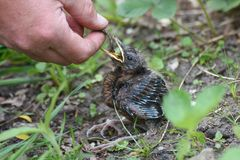 Young blackbirds gets feed a worm Royalty Free Stock Images