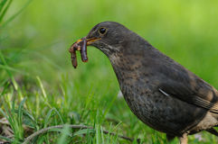 Common Blackbird with a Earthworm Stock Image
