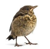 Common Blackbird or Eurasian Blackbird, Turdus merula Stock Images
