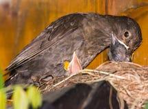Common blackbird feeding babies Royalty Free Stock Image