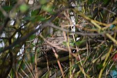 The common blackbird. royalty free stock photography